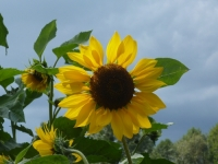 Sunflower - the symbol of ursuline serenity